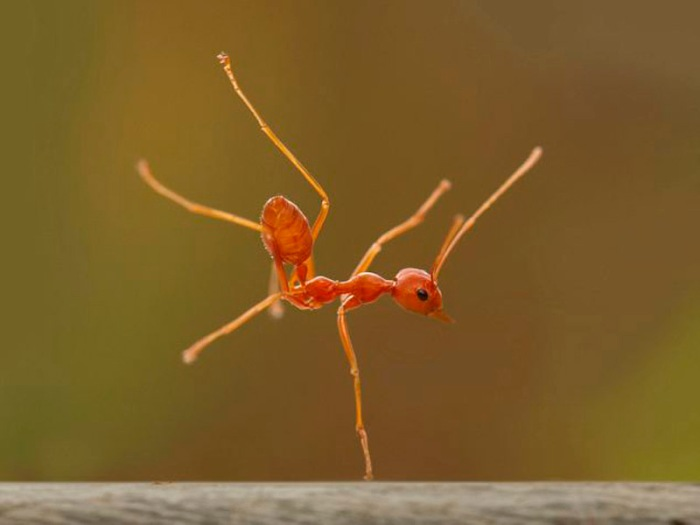 Dancing Ant in Indonesia